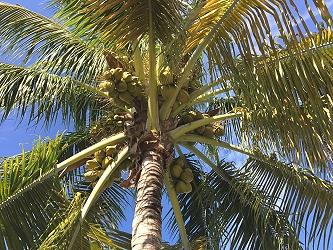 Florida coconut tree