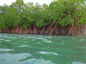 Key Largo Mangrove